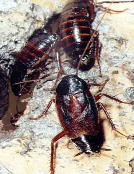 blatte e scarafaggi gruppo indaco