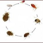 Il ciclo biologico di una cimice: dall'uovo nasce una neanide, che passa attraverso 4 stadi prima di diventare ninfa e poi individuo adulto.
