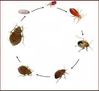 Biologia e sviluppo delle cimici gruppo indaco - Le cimici del letto ...