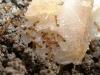 Monomorium pharaonis (formica faraone)