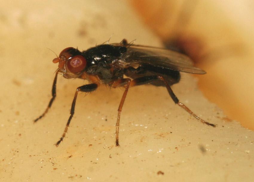 Piophila casei